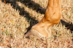 Detalj av den oskodda hästklöven Hästklöv utan hästskoslut upp royaltyfri fotografi
