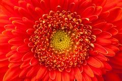 Detalj av den röda blomman Royaltyfri Fotografi