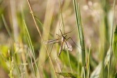 Detalj av den stora myggan Arkivbild