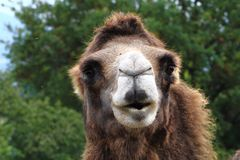 detalj av den trevliga kamlet royaltyfria foton