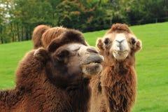 detalj av den trevliga kamlet arkivfoton