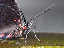 Detalj av den tropiska fjärilen Arkivfoto