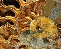 Detalj av det gamla fossilet Arkivbild
