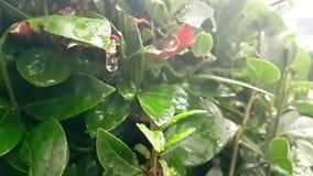 Detalj av det gr?na bladet och v?tt, n?r regna droppar som ner som faller ?r l?ngsamma