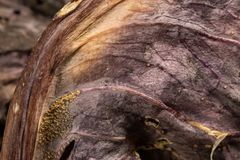 Detalj av det torkade bladet för röd kål Arkivfoto