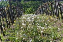 Detalj av druvaväxten på vingården i Grinzing, en vinby in Royaltyfri Bild