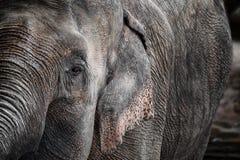 Detalj av elefanten fotografering för bildbyråer