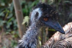 Detalj av en emù Royaltyfri Fotografi