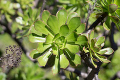 Detalj av en enkel floret av en grön Aeoniumarboreum royaltyfria bilder