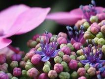 Detalj av en hydragena Royaltyfria Bilder