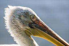 Detalj av en pelikan Royaltyfria Foton