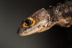 Detalj av en röd synad krokodilskink Arkivfoto