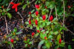 detalj av en rhododendronblomning Arkivfoton