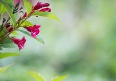 Detalj av en rosa trumpetbuske arkivbilder