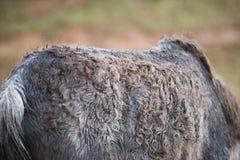 Detalj av en sjuk ponny för gammal ponny fotografering för bildbyråer