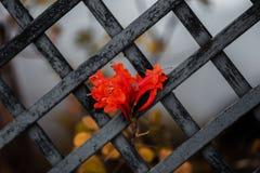 Detalj av en staketblomma som är röd arkivbilder