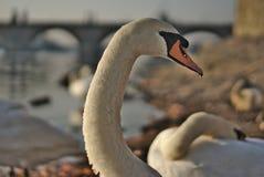 Detalj av en svan på floden Arkivfoto