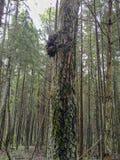 Detalj av en trädutväxt, burl på en trädstam i en skog, sjukdom fotografering för bildbyråer