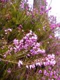 Detalj av en violett blommande ljung Fotografering för Bildbyråer