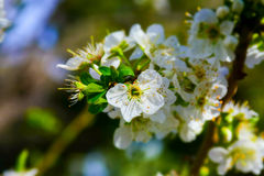 detalj av en vit magnolia Royaltyfri Fotografi