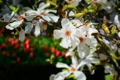 detalj av en vit magnolia Royaltyfria Foton