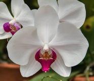 Detalj av en vit orkidéblomma Arkivfoto