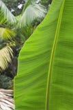Detalj av ett bananblad Arkivbild