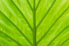 Detalj av ett blad av en alocasiaväxt, av dess gröna skuggor arkivbild