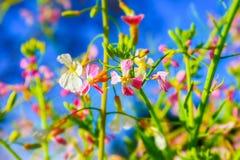 detalj av ett fält för rosa och vita blommor Royaltyfria Foton