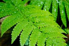 Detalj av ett härligt grönt blad av vattensmå droppar på ormbunke Royaltyfria Bilder