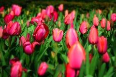 detalj av ett rosa tulpanfält Royaltyfri Foto