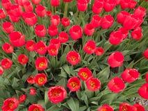 Detalj av fältet av röda tulpan i blom Royaltyfri Fotografi