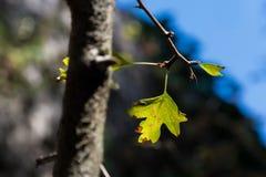 Detalj av gröna blad på ett träd Royaltyfri Fotografi