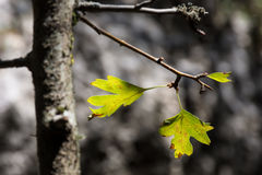 Detalj av gröna blad på ett träd Royaltyfria Foton