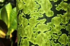 Detalj av gröna fläckar på den tropiska trädstammen royaltyfria foton