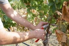 Detalj av händer som skördar druvor Royaltyfri Fotografi
