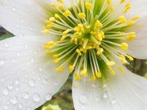 Detalj av hjärta för HelleborusNiger blomma Arkivbilder