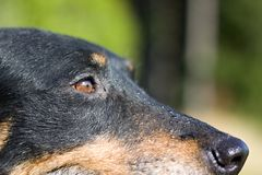 Detalj av hundhuvudet Royaltyfria Bilder