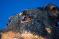 Detalj av hundhuvudet Royaltyfri Fotografi