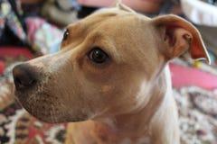Detalj av huvudet av en ung hund Fotografering för Bildbyråer