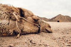 Detalj av kamels huvud i öknen med roligt uttryck royaltyfri fotografi