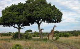 Detalj av Kenya Arkivfoton