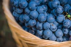Detalj av korgen med druvor blå druvaskörd Mat burgundy Höst i trädgården fotografering för bildbyråer