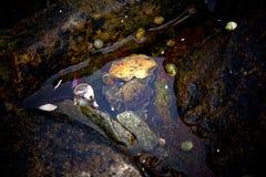 Detalj av krabban i tidvattenpöl royaltyfria foton