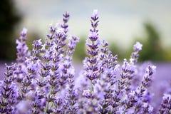 Detalj av lavendel, Provence, Frankrike Royaltyfria Foton