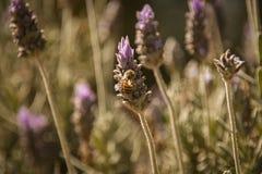 detalj av lavendelblomman med biet royaltyfria bilder
