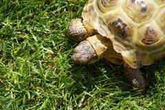 Detalj av lite sköldpaddakrypningen i gräset Royaltyfri Bild