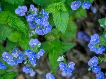 Detalj av liten blå vårs blommor Arkivfoto