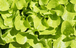 Detalj av ny grön sallad fotografering för bildbyråer