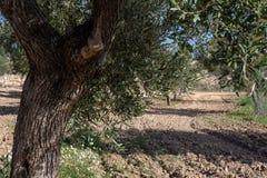 Detalj av olivträdet i fält arkivbilder